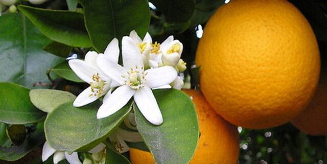 profumo arancio